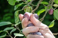 Hand som väljer en plommon Royaltyfria Foton