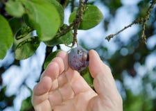 Hand som väljer en plommon från ett träd Fotografering för Bildbyråer