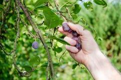Hand som väljer en plommon från ett träd Arkivbild