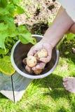 Hand som väljer tidiga potatisar Arkivbilder