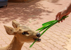 Hand someone feeding grass deer. Royalty Free Stock Images