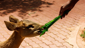 Hand someone feeding grass deer. Royalty Free Stock Photos