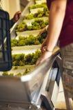 Hand - sorteringdruvor på en transportband på vinodlingen Royaltyfria Foton