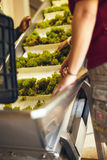 Hand sorting grapes on a conveyor belt at winery. Grapes on conveyer belt of a machine in modern winery. Workers hand sorting grapes on a conveyor belt before royalty free stock photos