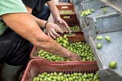 Hand sorting out collected green olives. In Chalkidiki, Greece royalty free stock image