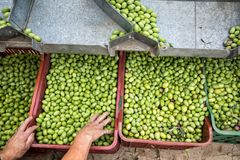 Hand sorting out collected green olives. In Chalkidiki, Greece stock photos