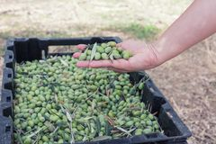 Hand sorting out collected green olives. A hand of female inspecting collected green olives stock photos