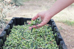 Hand sorting out collected green olives. A hand of female inspecting collected green olives stock photography