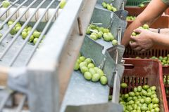 Hand sorting out collected green olives. In Chalkidiki, Greece stock photo