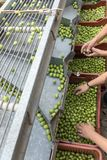 Hand sorting out collected green olives. In Chalkidiki, Greece royalty free stock photos