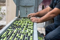Hand sorting out collected green olives. In Chalkidiki, Greece stock photography
