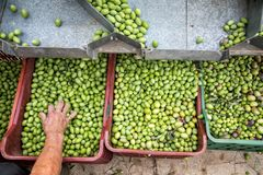 Hand sorting out collected green olives. In Chalkidiki, Greece stock image