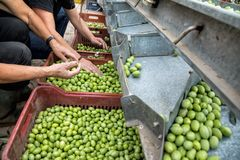 Hand sorting out collected green olives. In Chalkidiki, Greece royalty free stock photo