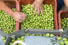Hand sorting out collected green olives. In Chalkidiki, Greece stock images