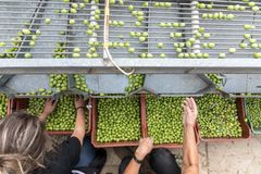 Hand sorting out collected green olives. In Chalkidiki, Greece royalty free stock photography