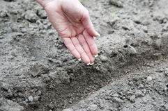 Hand sowing radish seed Royalty Free Stock Photography