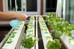 Hand spraying water into hydroponic organic vegetable in Greenhouse royalty free stock photo
