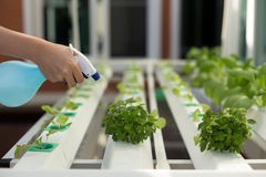 Hand spraying water into hydroponic organic vegetable in Greenhouse stock photo