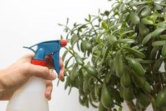 Hand sprays water on indoor plant Stock Image