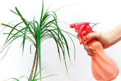 Hand sprinkles plant Royalty Free Stock Image