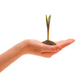 Hand and sprout. Female hand which holds a blossoming sprout Stock Photos