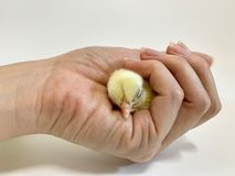 The hand is squeezing a little chick isolated on white background stock photography