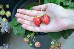 Hand with strawberries Royalty Free Stock Photo