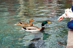 Hand stretches treat ducks Royalty Free Stock Photography