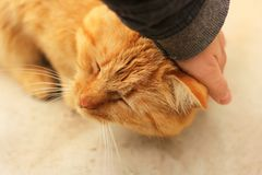 Hand stroking a cat. Beautiful red cat stock photo