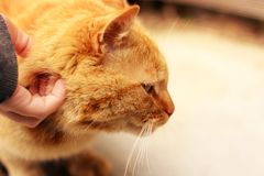 Hand stroking a cat. Beautiful red cat royalty free stock images