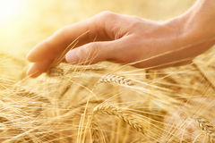 Hand stroking cereal crop. Male hand gently stroking the crop of dry cereal plants in warm soft light on a field, an agriculture shot with emotion Stock Photo
