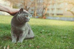 Hand stroking shorthair cat outdoor. With copy space Royalty Free Stock Images