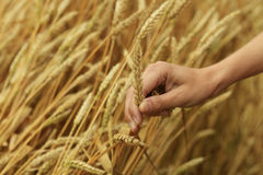 Hand stroking wheat 2 Royalty Free Stock Images