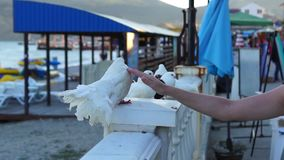 Hand stroking white pigeon stock video footage
