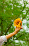 Hand with sunflower Stock Image