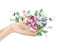 Hand and sweet pea flowers Royalty Free Stock Photography