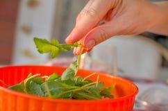 Hand take rocket salad Royalty Free Stock Image