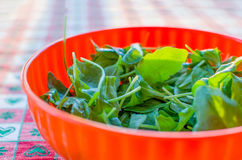Hand take rocket salad Royalty Free Stock Photography