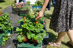 Hand take strawberry seedling plants in pots Royalty Free Stock Photos