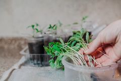 Hand takes fragile tomato sprout from plastic box. Preparation of seedlings. A woman`s hand takes a thin green tomato from a round plastic box Stock Images