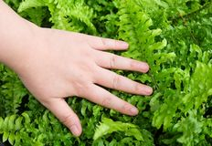 Hand Taking Care of Tassle Ferns in Garden Royalty Free Stock Photos