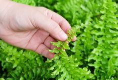 Hand Taking Care of Tassle Ferns in Garden Royalty Free Stock Photo
