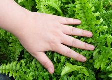 Hand Taking Care of Tassle Ferns in Garden. Ecology and Environment Concept, Closeup of Hand Protection Pteridophyta or Tassle Ferns. Taking Care of The Garden Stock Photo