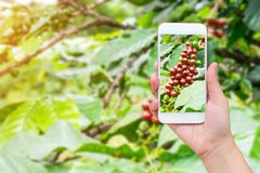 Hand taking photo of fresh coffee beans with mobile phone. Female hand taking photo of fresh coffee beans in coffee plants tree with mobile phone Royalty Free Stock Image