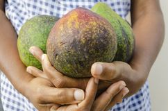 In Hand Three Avocado stock photos