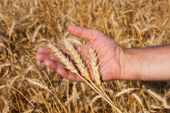 Hand with three spikelets of wheat Royalty Free Stock Photography