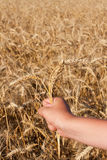 Hand with three spikelets of wheat Stock Photography