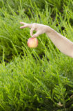 Hand about to drop the apple. A hand holding the stem of an apple and ready to drop it Stock Photos