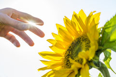 Hand about to pick a sunflower Stock Photos
