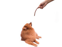 The hand to play the Pomeranian dog Stock Photography